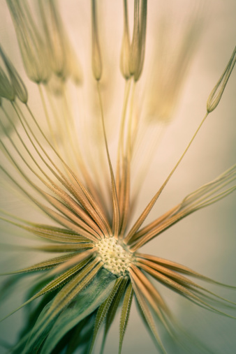 Sepia Toned「Dandelion」:スマホ壁紙(9)