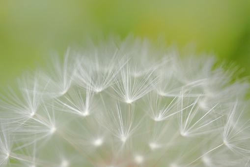 たんぽぽ「Dandelion」:スマホ壁紙(5)