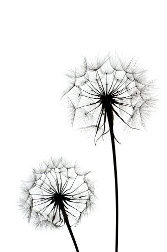 たんぽぽ「たんぽぽ」:スマホ壁紙(10)
