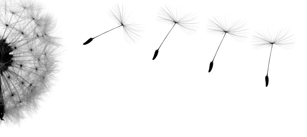 たんぽぽ「たんぽぽ」:スマホ壁紙(16)
