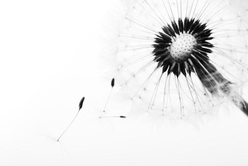 たんぽぽ「たんぽぽ」:スマホ壁紙(11)