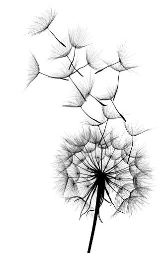 キク科「たんぽぽ」:スマホ壁紙(16)