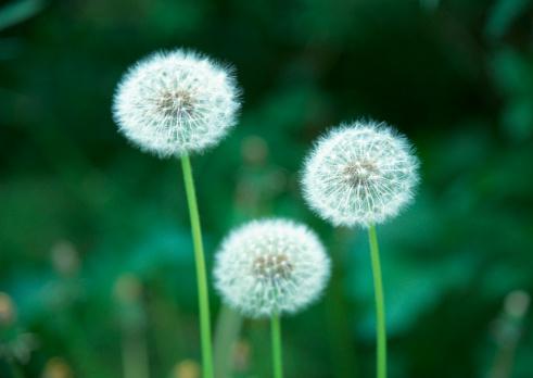 たんぽぽ「Dandelion」:スマホ壁紙(4)