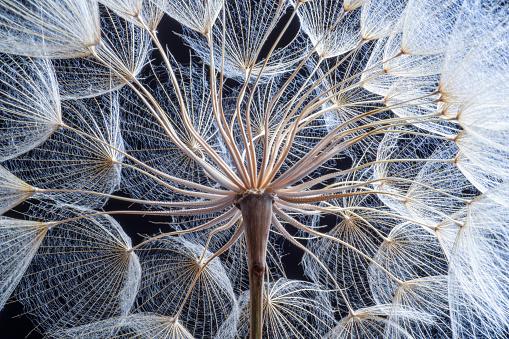 Beauty In Nature「Dandelion」:スマホ壁紙(2)