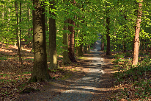 Belgium「Footpath or dirt road through hardwood beech forest in early spring.」:スマホ壁紙(1)
