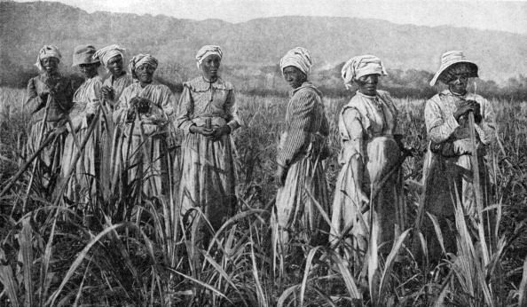 Sugar Cane「Women tending young sugar canes in Jamaica, 1922.」:写真・画像(17)[壁紙.com]