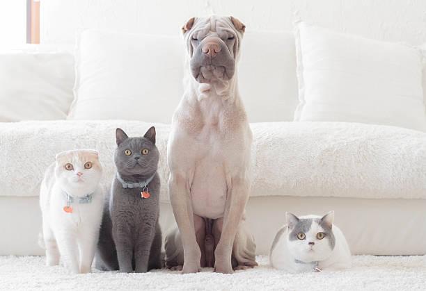 Shar pei dog, british shorthair and scottish fold cats sitting in a row:スマホ壁紙(壁紙.com)