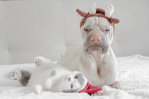 Portrait「Shar pei dog dressed in antlers and british shorthair cat dressed in santa hat」:スマホ壁紙(11)