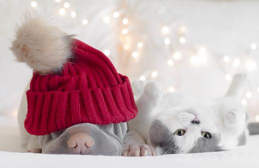 ショートヘア種の猫「Shar pei dog wearing a beanie with a cat」:スマホ壁紙(15)