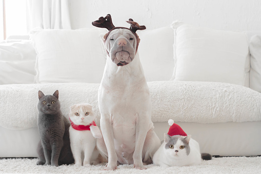 Animal Themes「Shar pei dog and three cats dressed for Christmas」:スマホ壁紙(5)