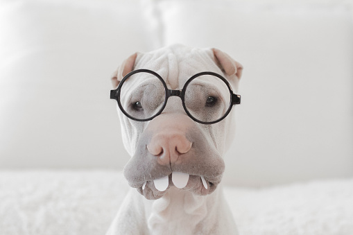 正面から見た図「Shar pei dog wearing glasses and plastic teeth」:スマホ壁紙(11)