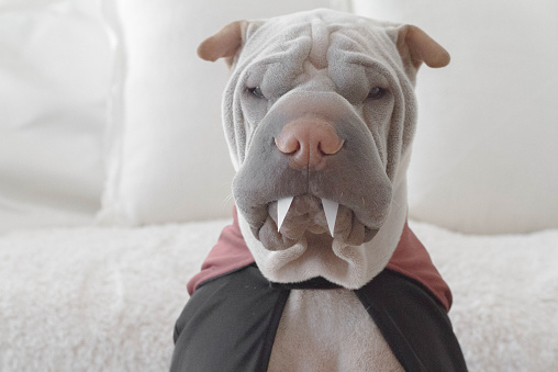 Cape - Garment「Shar pei dog wearing dracula costume」:スマホ壁紙(16)