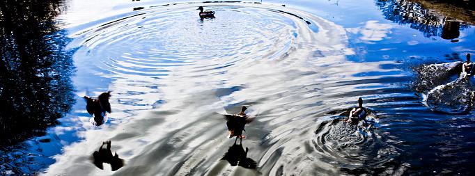 マン島「Ducks in Pond」:スマホ壁紙(1)