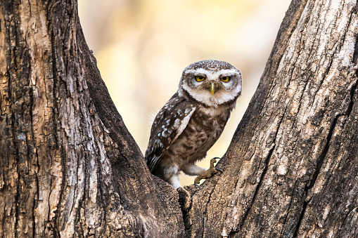 Rajasthan「Spotted owlet in dhok tree」:スマホ壁紙(4)
