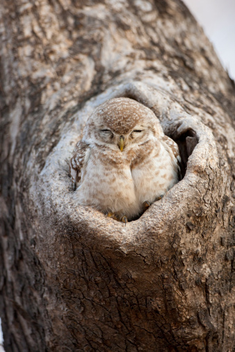 Ranthambore National Park「Spotted Owl at Ranthambhore, India」:スマホ壁紙(15)