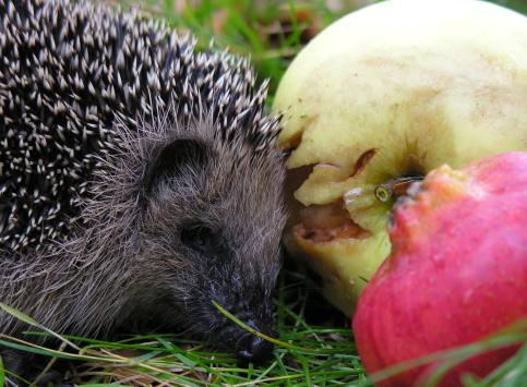 ハリネズミ「hedgehog」:スマホ壁紙(1)