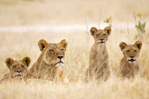 Animals Hunting「Africa, Botswana, Lioness and cubs」:スマホ壁紙(10)
