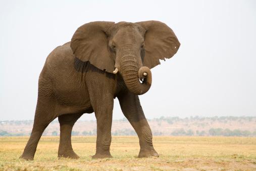African Elephant「Africa, Botswana, Chobe National Park, Elefant」:スマホ壁紙(6)
