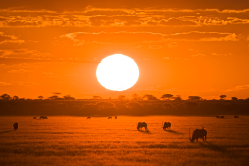 Eating「Africa, Botswana, Silhouette of gemsbok herd (Oryx gazella) at sunset」:スマホ壁紙(10)