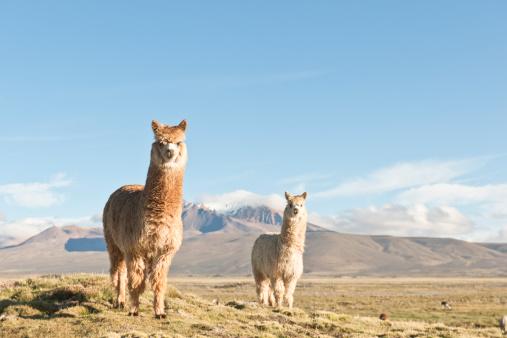 Alpaca「Alpacas ( Lama Pacos), Bolivia.」:スマホ壁紙(11)