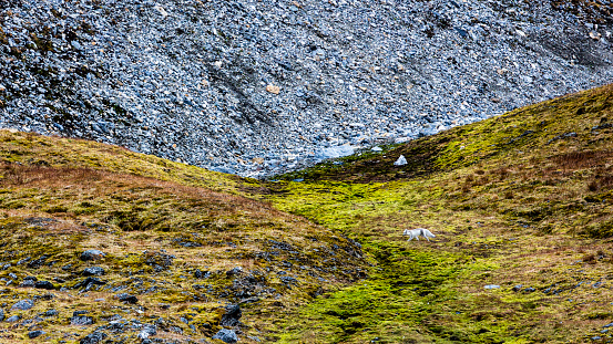 Arctic Fox「young arctic fox running on the hill, Vulpes Lagopus, Spitzbergen, Svalbard」:スマホ壁紙(2)