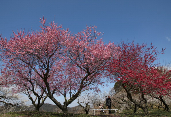 Plum「Plums In Full Bloom In Hyogo」:写真・画像(3)[壁紙.com]
