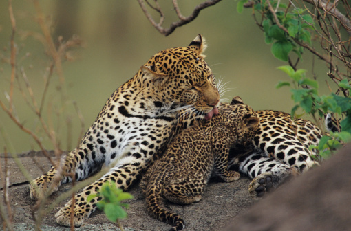 Love「Leopard grooming cub (Panthera pardus), resting on rock, Kenya」:スマホ壁紙(4)