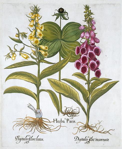 Basil「Herb Paris (Solanum Quadrifolium) Common Foxglove (Digitalis Purpurea) Large Yellow Foxglov」:写真・画像(10)[壁紙.com]