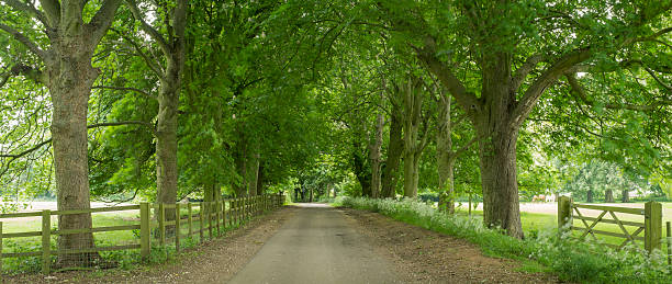 Lane through avenue of trees:スマホ壁紙(壁紙.com)
