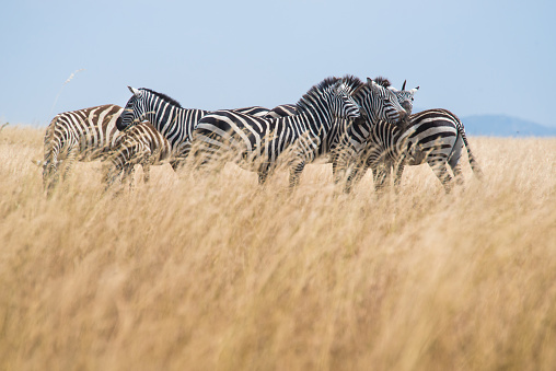 Wildlife Conservation「Zebras, Serengeti National Park」:スマホ壁紙(11)