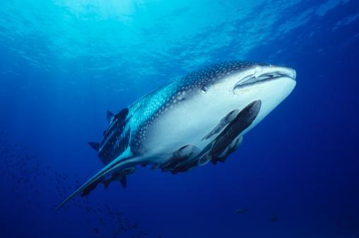 ジンベイザメ「シャークライド」:スマホ壁紙(8)