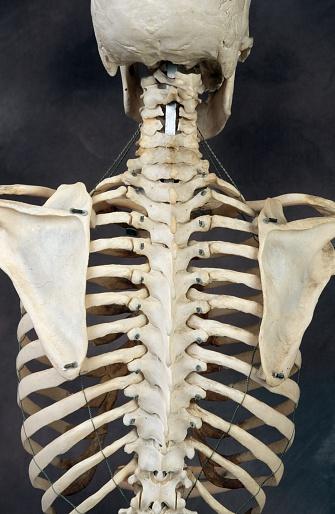 ドクロ「Back of Human Skeleton」:スマホ壁紙(10)