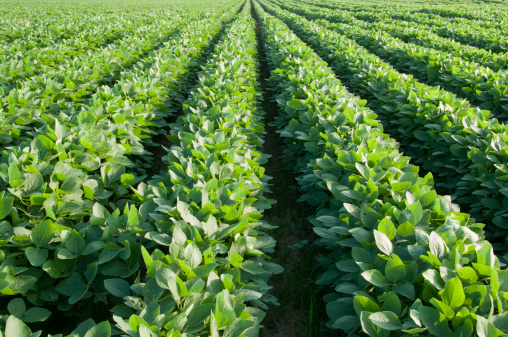 Planting「Rows of Soybeans」:スマホ壁紙(2)