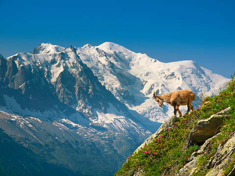 Auvergne-Rhône-Alpes「A young ibex, or mountain goat, in front of the Mont Blanc.」:スマホ壁紙(6)