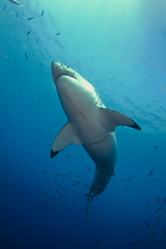 Furious「Male Great White Sharks belly, Guadalupe Island, Mexico.」:スマホ壁紙(6)