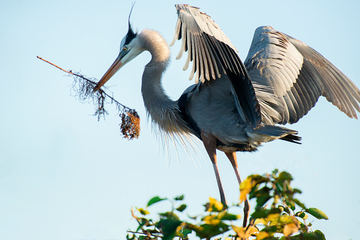 A Helping Hand「Male Great Blue Heron bringing stick to female Great Blue Heron, not shown in photo, for nest building, in Wakodahatchee Wetlands, Florida.」:スマホ壁紙(2)