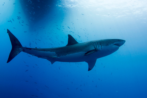 Shallow「Male great white shark, Guadalupe Island, Mexico.」:スマホ壁紙(2)