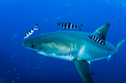 Furious「Male great white shark and pilot fish, Guadalupe Island, Mexico.」:スマホ壁紙(4)