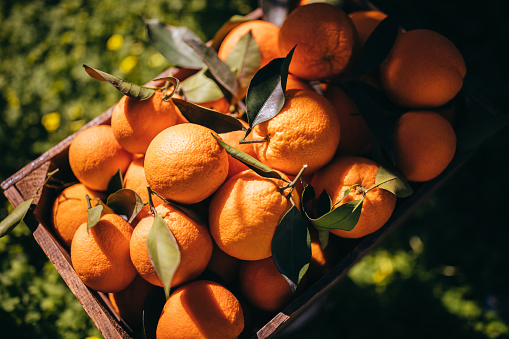 Orange - Fruit「Wooden basket full of ripe oranges in orange grove」:スマホ壁紙(13)