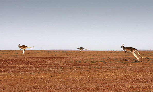 Kangaroo「Explore The Australian Outback」:写真・画像(8)[壁紙.com]
