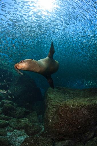 Sea Lion「Sea lion chasing a school of bait fish, Los Islotes, La Paz, Mexico.」:スマホ壁紙(19)