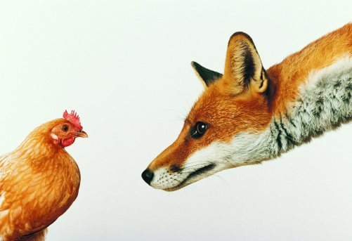 Chicken - Bird「Fox Staring at Hen」:スマホ壁紙(6)