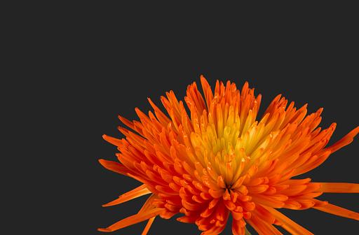 Chrysanthemum「Orange Mum with Black Background」:スマホ壁紙(14)