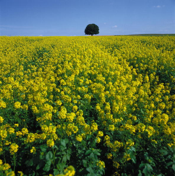 Brassica rapa「Colza field with a chestnut tree, at Rudmanns, near Zwettl, Lower Austria/Waldviertel, Photograph, Around 2004」:写真・画像(7)[壁紙.com]