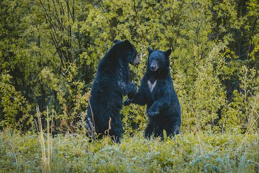 Bear Cub「Bears standing in forest」:スマホ壁紙(15)