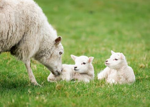 スコットランド文化「Mother 雌羊た子羊の栄養補給」:スマホ壁紙(1)