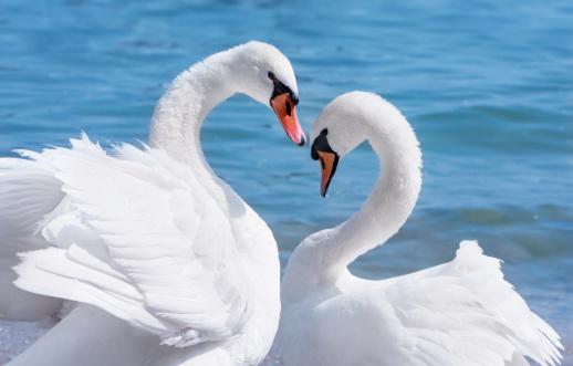 ハート「白鳥の愛」:スマホ壁紙(15)