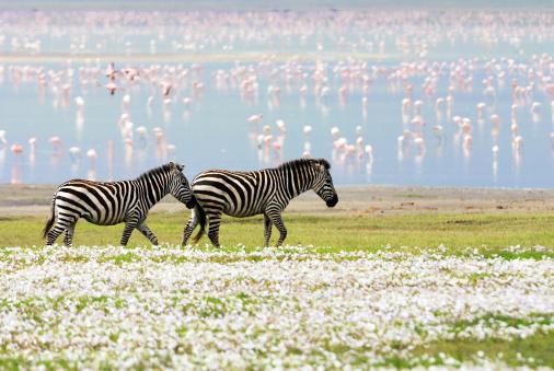 Eco Tourism「zebras, flowers and flamingos」:スマホ壁紙(10)