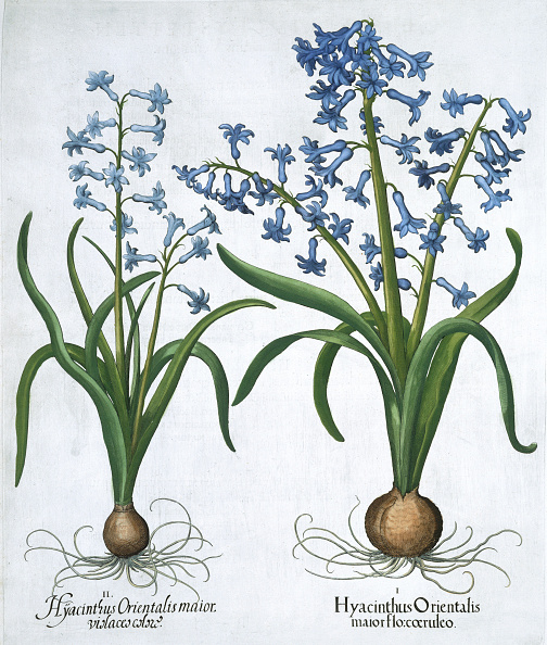 Basil「Two Blue Hyacinths 1613」:写真・画像(19)[壁紙.com]