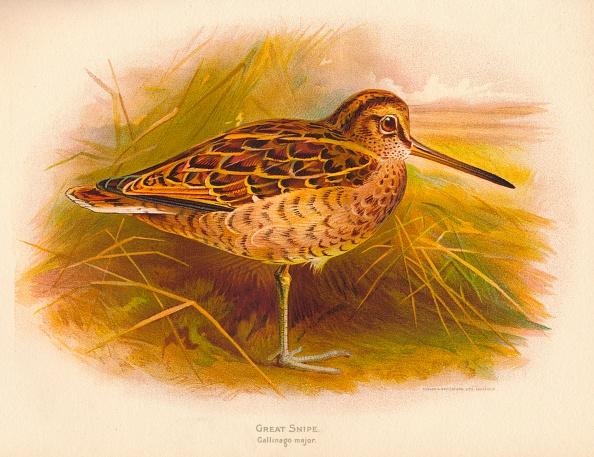 Beak「'Great Snipe (Gallinago major)', 1900, (1900)」:写真・画像(16)[壁紙.com]